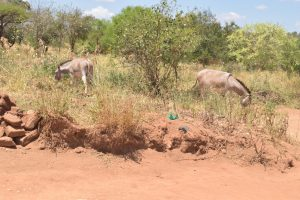 The Water Project:  Donkeys Grazing