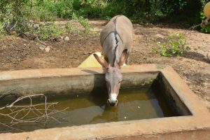 The Water Project:  Donkey Drinks At Rock Catchment