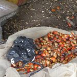 The Water Project: Kamayea, Susu Community & Church -  Palm Kernels