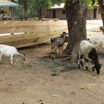 The Water Project: Lokomasama, Kamayea, Susu Community & Church -  Livestock