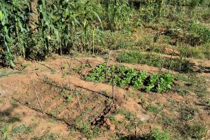 The Water Project:  Successful Crops Enabled By The Dam And Well
