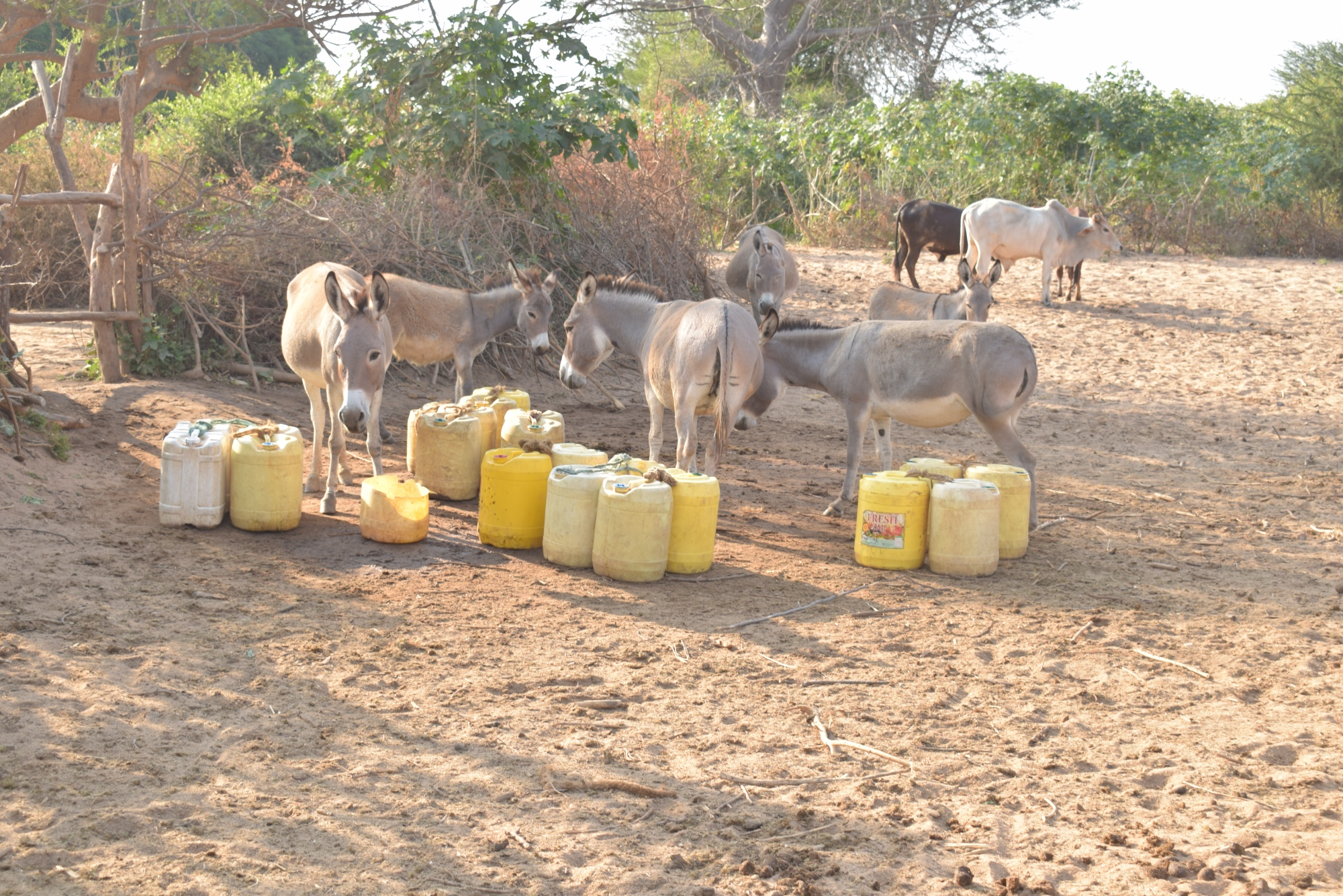 The Water Project : kenya19251-donkeys-and-containers-at-the-riverbed