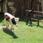 The Water Project: Malimali Community, Shamala Spring -  Ogada Tending To His Cow