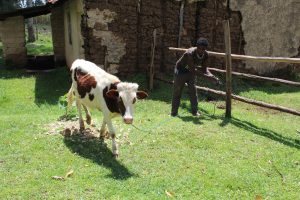 The Water Project:  Ogada Tending To His Cow