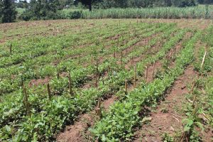 The Water Project:  Bean Farm