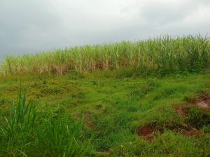 The Water Project:  Sugarcane Farm