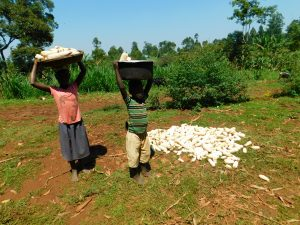 The Water Project:  Kids Collect Maize Harvest