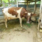 The Water Project: Emurumba Community, Makokha Spring -  Cow Eating