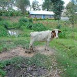 The Water Project: Bukhaywa Community, Ashikhanga Spring -  Calf In A Family Compound