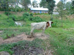 The Water Project:  Calf In A Family Compound