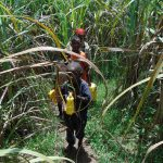 The Water Project: Bukhaywa Community, Shidero Spring -  Path Home Through Sugarcane Carrying Water