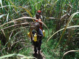 The Water Project:  Path Home Through Sugarcane Carrying Water