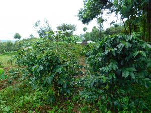 The Water Project:  Area Coffee Trees