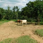 The Water Project: Emurumba Community, Makokha Spring -  Cattle
