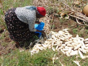 The Water Project:  Beatrice Harvesting Maize
