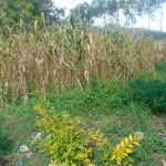 The Water Project: Mukangu Community, Metah Spring -  Maize Plantaion