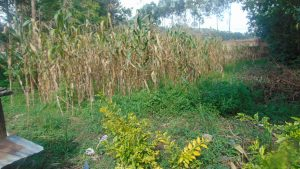 The Water Project:  Maize Plantaion