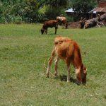 The Water Project: Kimaran Community, Kipsiro Spring -  Cows Grazing