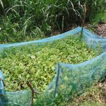 The Water Project: Bukhaywa Community, Shidero Spring -  Protected Garden Of Greens