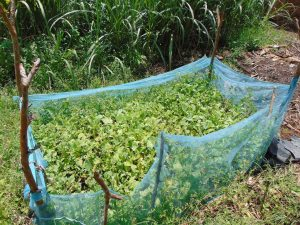 The Water Project:  Protected Garden Of Greens