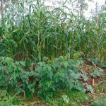 The Water Project: Emurumba Community, Makokha Spring -  Maize