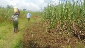 The Water Project:  Sugarcane Plantations