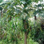The Water Project: Bukhaywa Community, Shidero Spring -  Papaya Tree