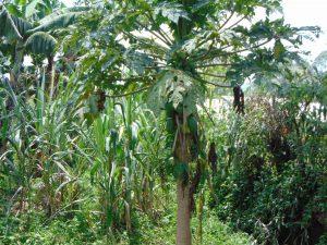 The Water Project:  Papaya Tree