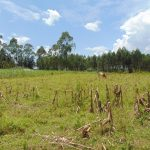 The Water Project: Bukhaywa Community, Shidero Spring -  Cow Grazing
