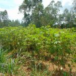 The Water Project: Munenga Community, Francis Were Spring -  Cassava