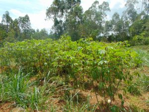 The Water Project:  Cassava