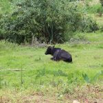 The Water Project: Kalenda B Community, Lumbasi Spring -  Cow Resting
