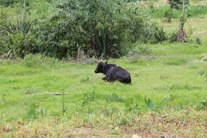 The Water Project:  Cow Resting