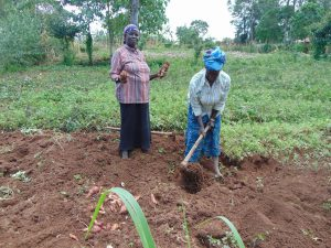 The Water Project:  Harvesting Sweet Potatoes