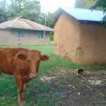 The Water Project: Mukangu Community, Metah Spring -  A Cow Grazing