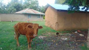 The Water Project:  A Cow Grazing
