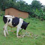 The Water Project: Mubinga Community, Mulutondo Spring -  Cow