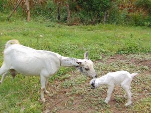 The Water Project:  Goats