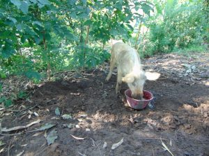 The Water Project:  Pig