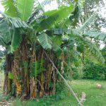 The Water Project: Rosterman Community, Lishenga Spring -  Banana Plantation