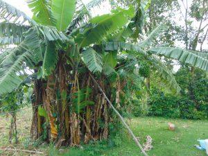The Water Project:  Banana Plantation