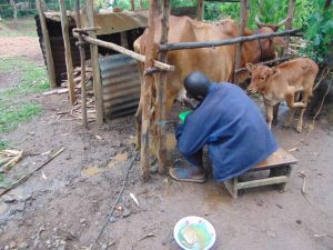 The Water Project:  Milking Cow