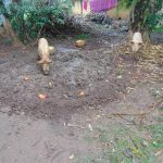 The Water Project: Rosterman Community, Lishenga Spring -  Pigs Feeding