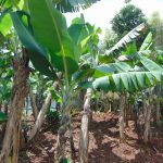 The Water Project: Jivovoli Community, Magumba Spring -  Bananas