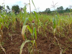 The Water Project:  Maize