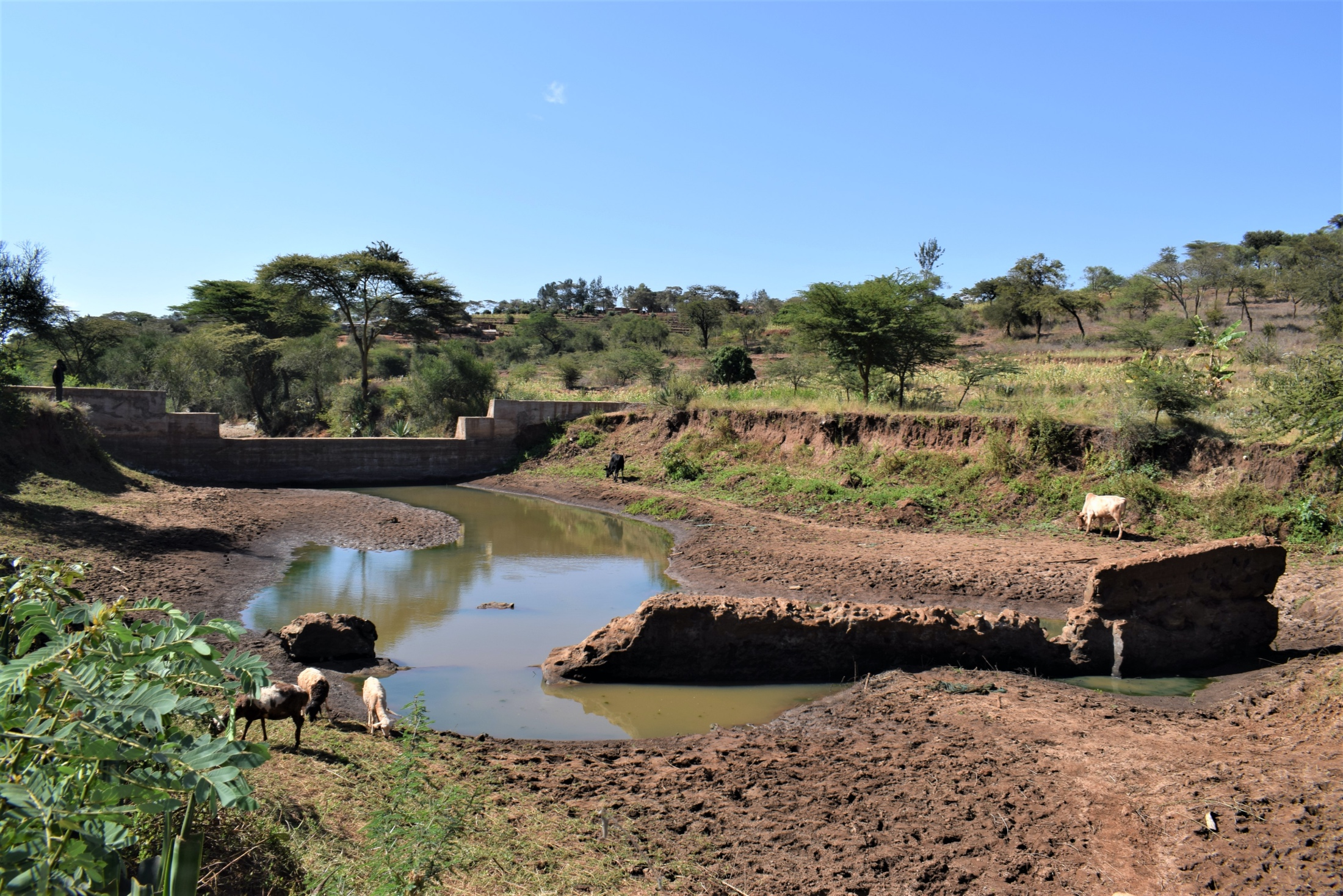 The Water Project : kenya18188-crops-growing-adjacent-to-the-dam