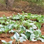 The Water Project: Maluvyu Community D -  Crops Growing Thanks To The Well And Dam