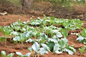 The Water Project:  Crops Growing Thanks To The Well And Dam