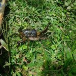 The Water Project: Bung'onye Community, Shilangu Spring -  Crab Found At The Spring
