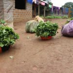 The Water Project: Lungi, Mahera, Mahera Health Clinic -  Potato Leaves And Cassava Leaves Set For Sale